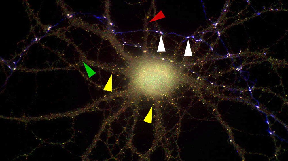 The innervation of a pyramidal neuron by the axon of a GAD-containing interneuron organizes GABAA receptors into large postsynaptic aggregates.
